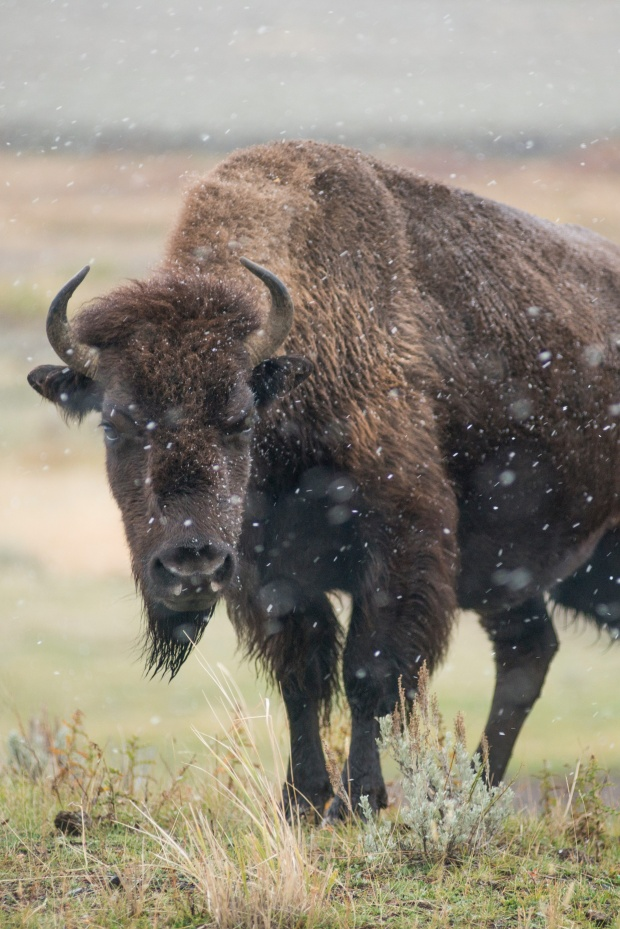 Snow begins to fall around grazing bison in Yellowstone National Park.