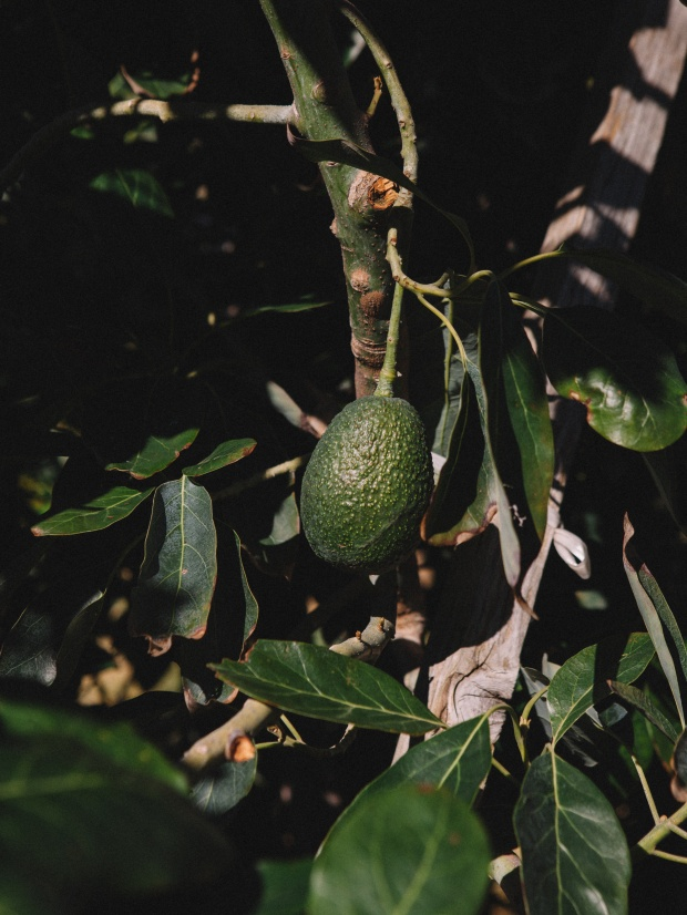 Avocado tree on Sunrise Ranch.