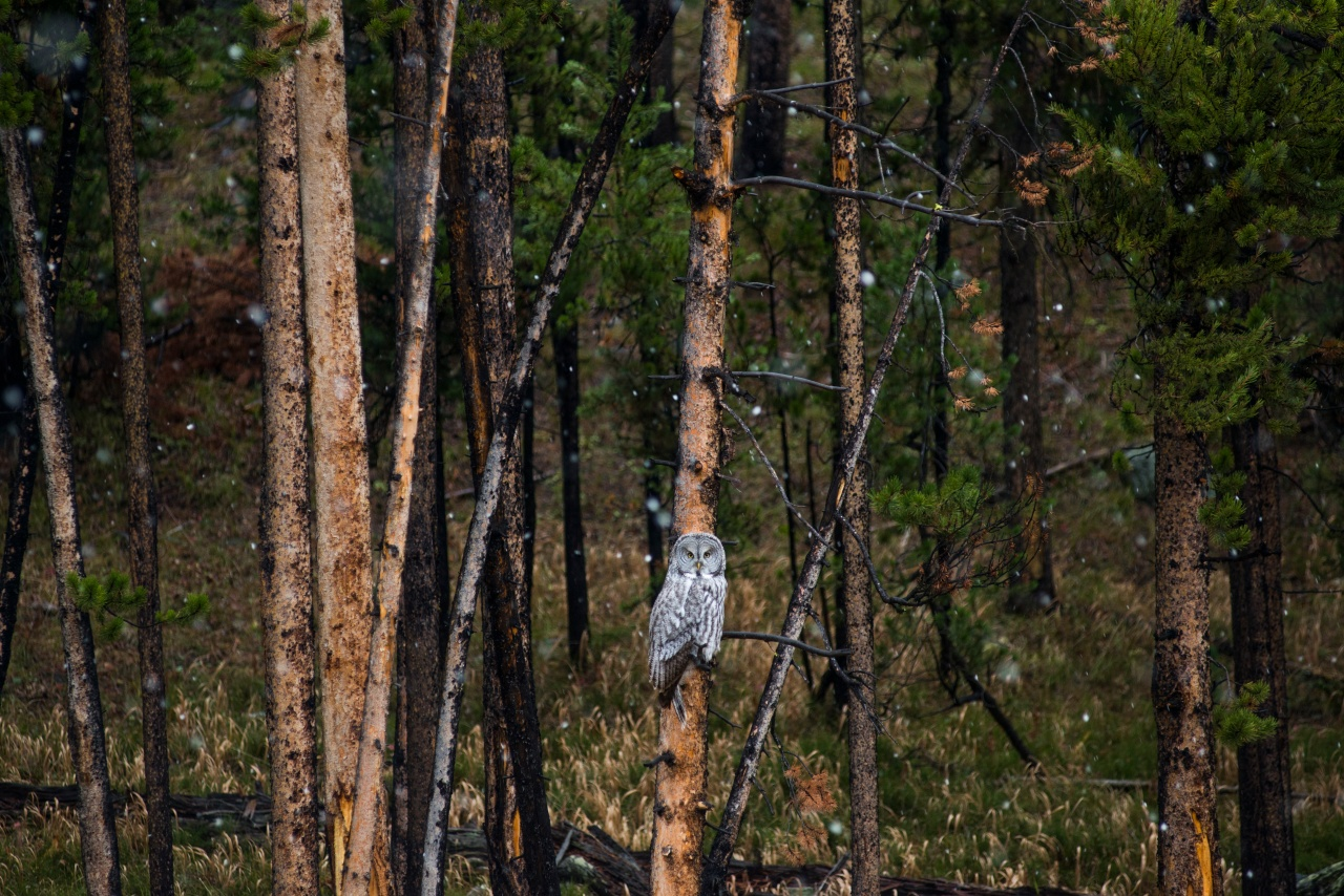 Snow begins to fall around a large grey owl in Yellowstone National Park.