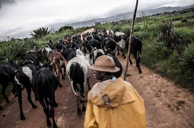 1. A zebu breeder comes home with his cattle / 2. Portrait of Remenabila