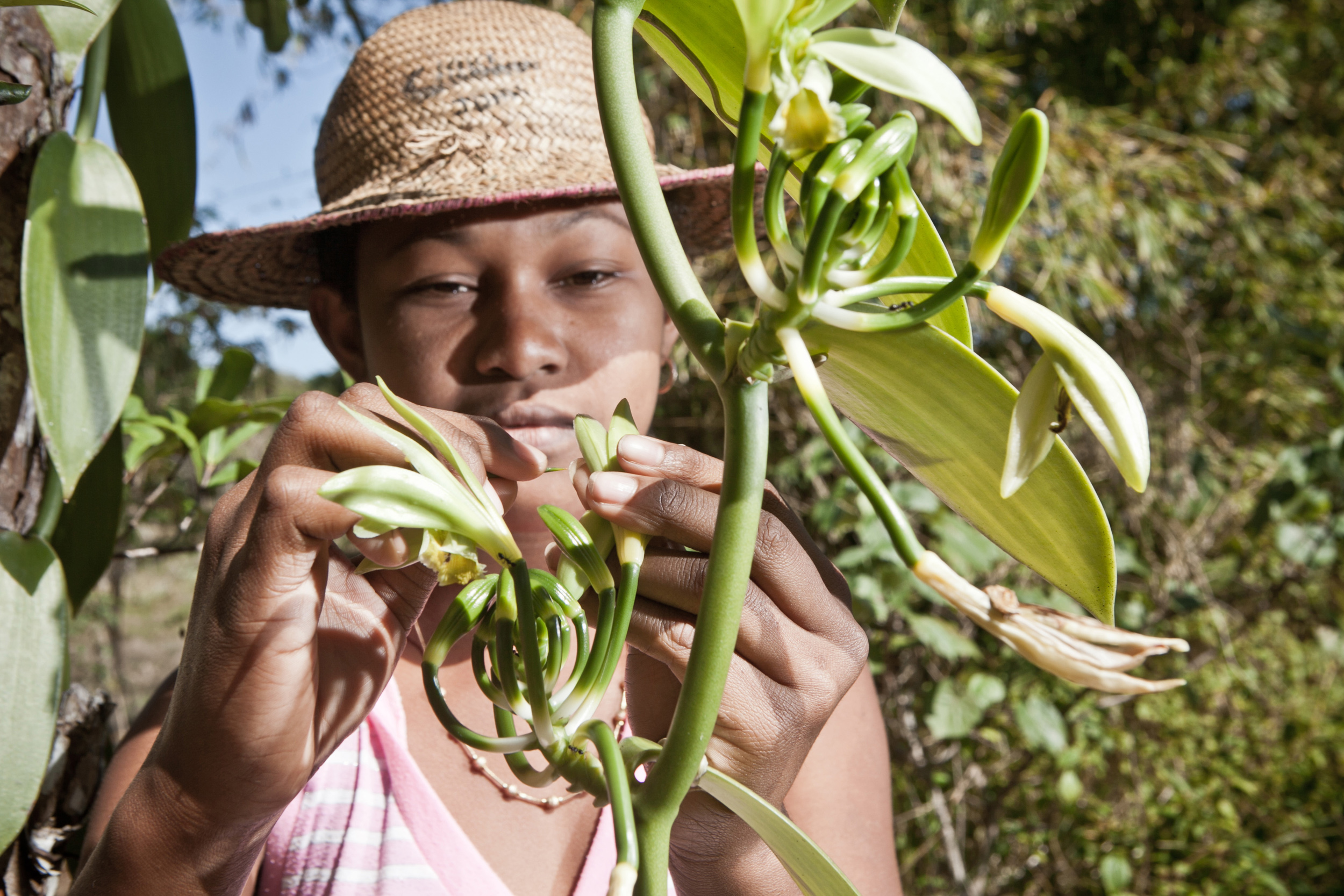 A young worker in Karela inseminates an orchid flower to produce green vanilla.