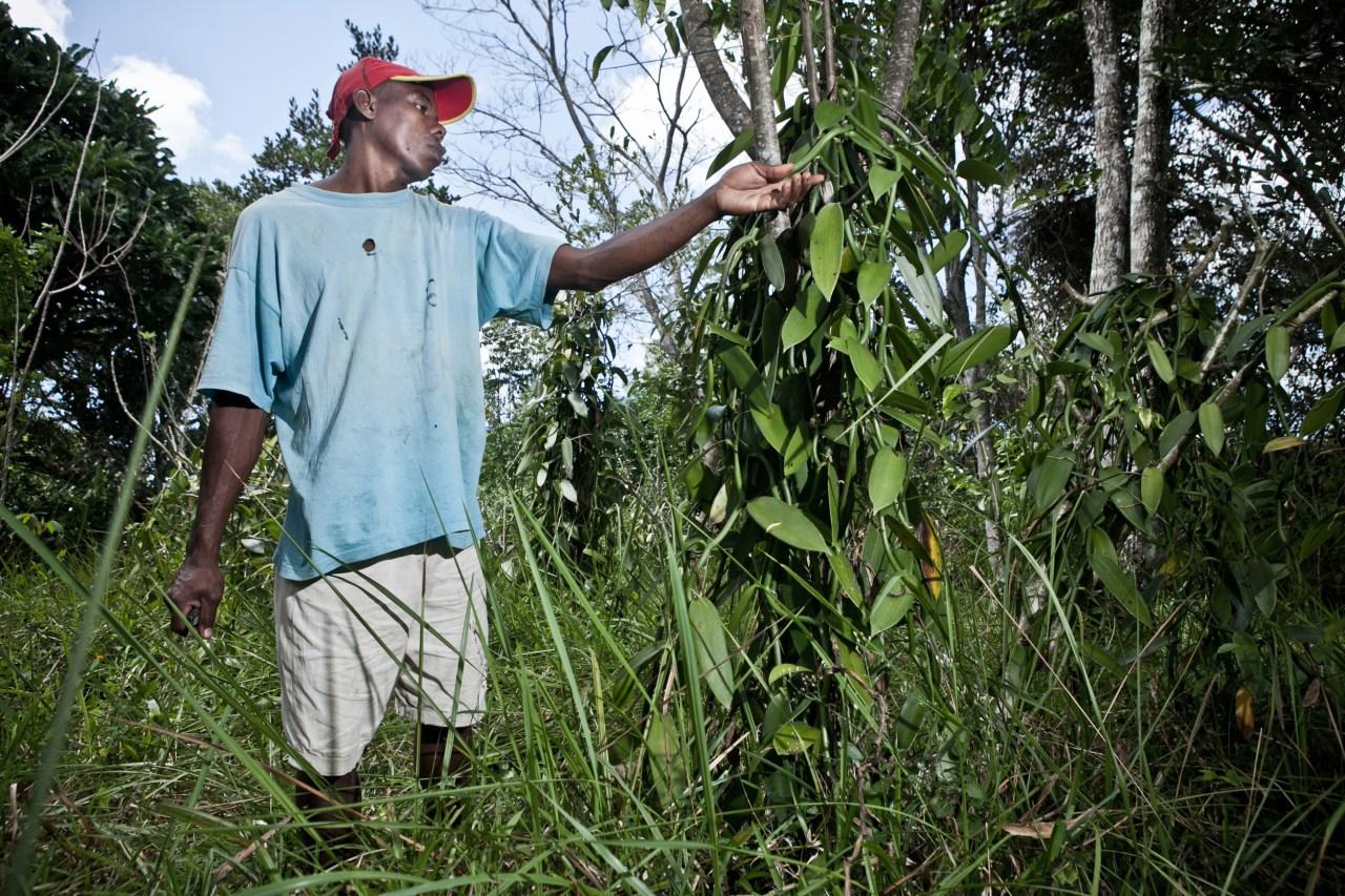 A worker checks a patch in a vanilla plantation near Sambava. Vanilla needs shade and humidity to grow.