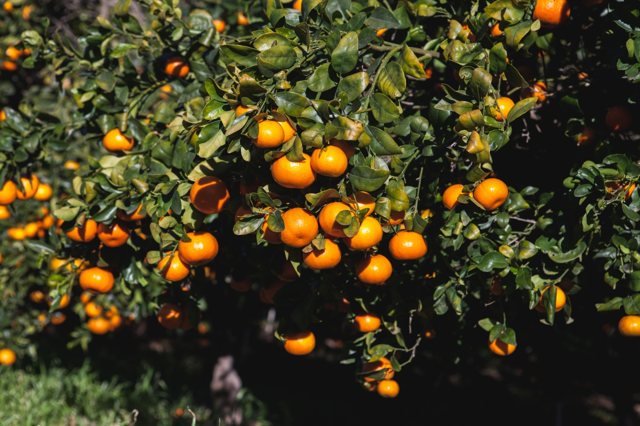 Oranges on Sunrise Ranch.