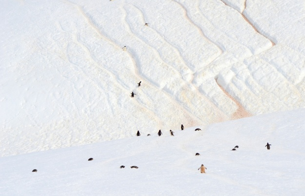 """1. Deep furrows form """"penguin highways"""" in the snow. / 2. Gentoo penguin nesting pairs greet each other on Petermann Island."""