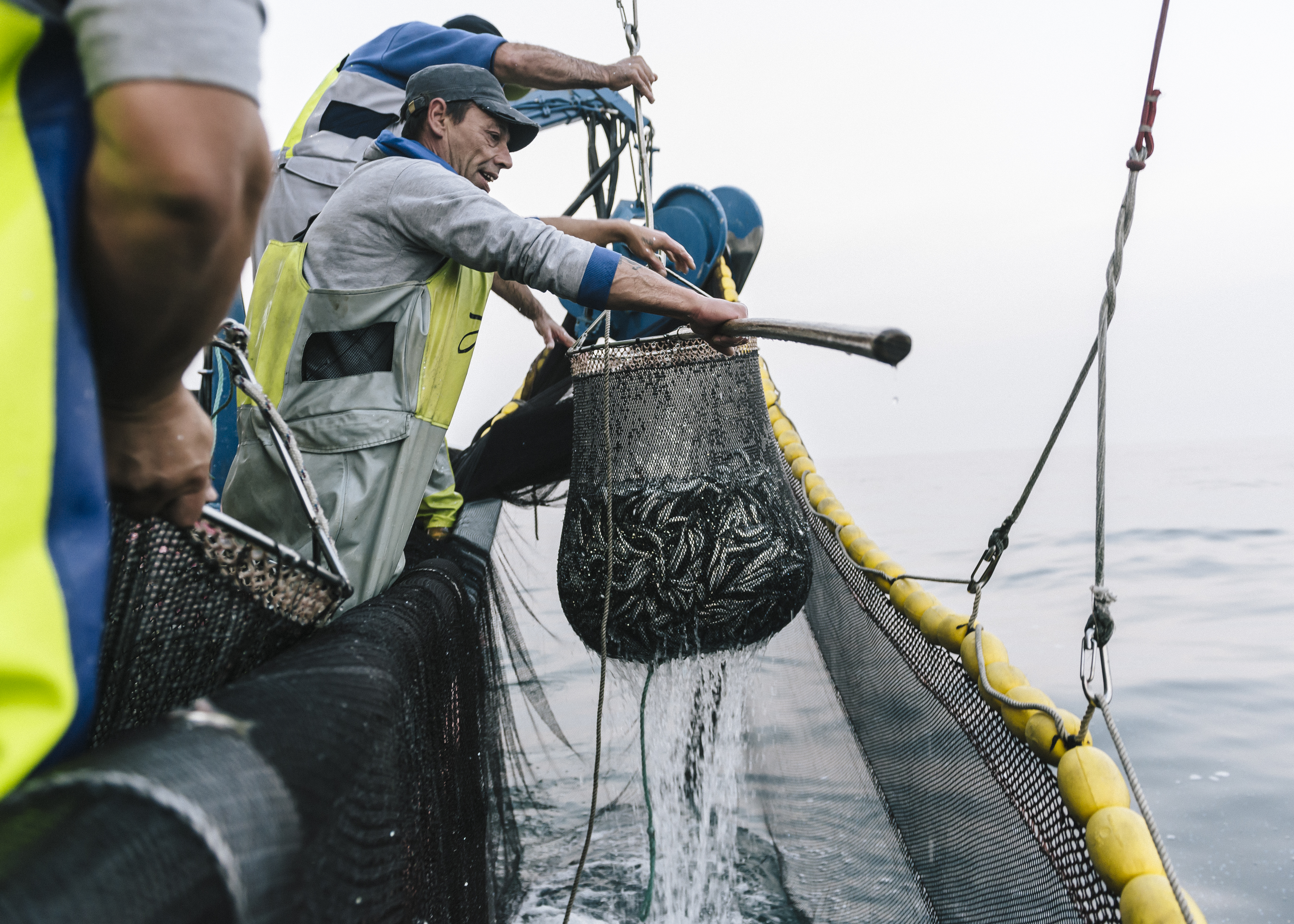 Sardines are caught with a purse seine net.