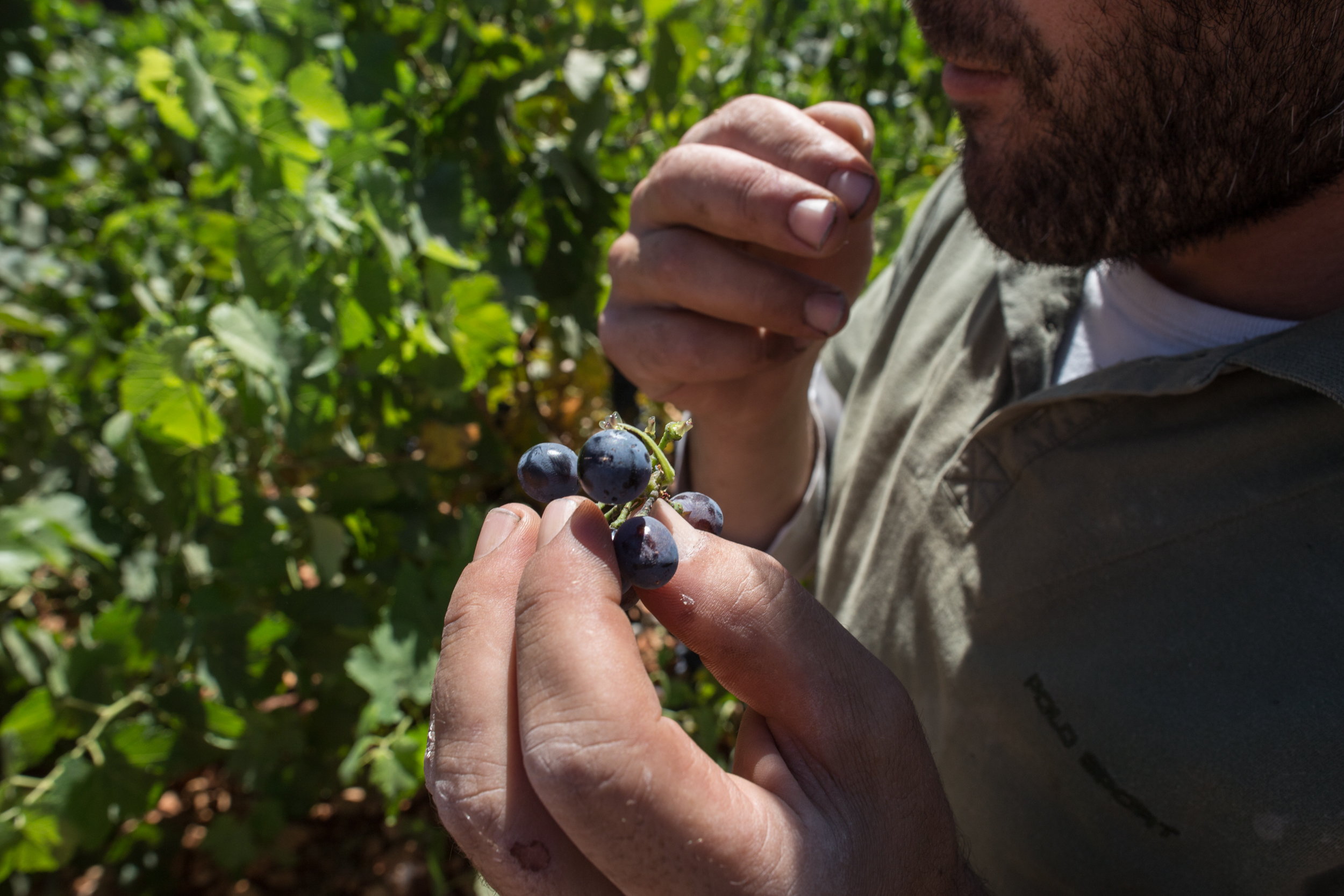 1. Cannabis plants grow in a plot adjacent to one used by the Couvent Rouge winery to grow grape vines. / 2. Elie, a farmer and member of the Heliopolis Cooperative, tastes grapes at the Couvent Rouge winery.