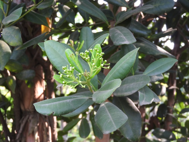 Pimento branch. (Yercaud-elango/Wikimedia Commons)