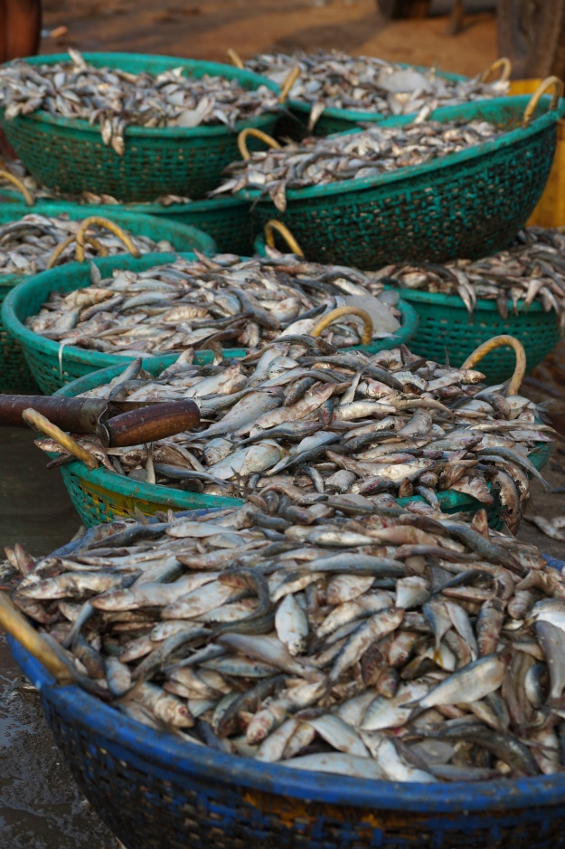 1. Fresh cuttlefish. / 2. Baskets of oil sardines at Rameswaram jetty.
