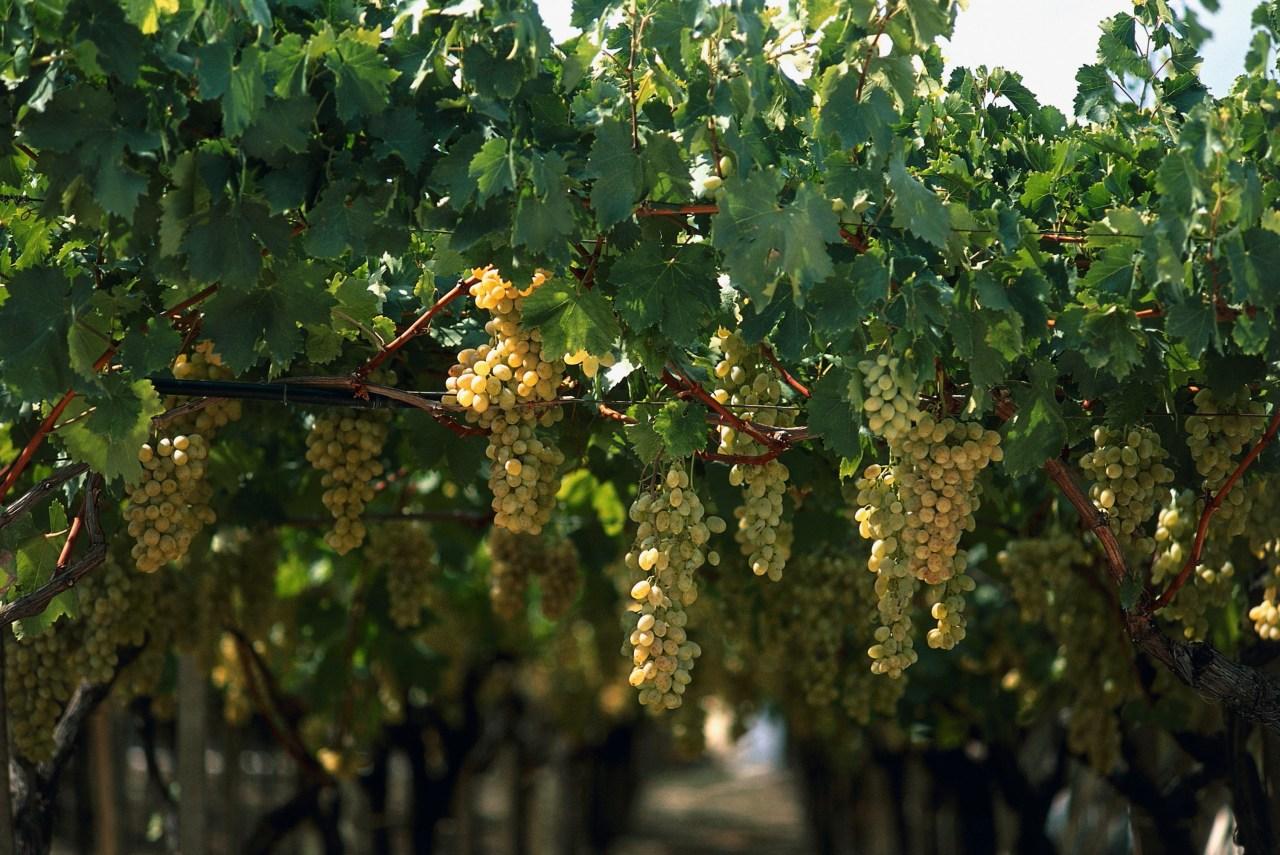 Grapes in a vineyard in Canosa di Puglia, Bari, Puglia. (Photo by Dea / R.Carnovalini/ De Agostini via Getty Images)
