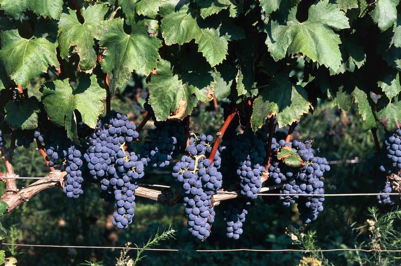 Grapes in a vineyard, San Pancrazio Salentino, Puglia, Italy (Photo by Dea / M. Borchi / De Agostini via Getty Images)
