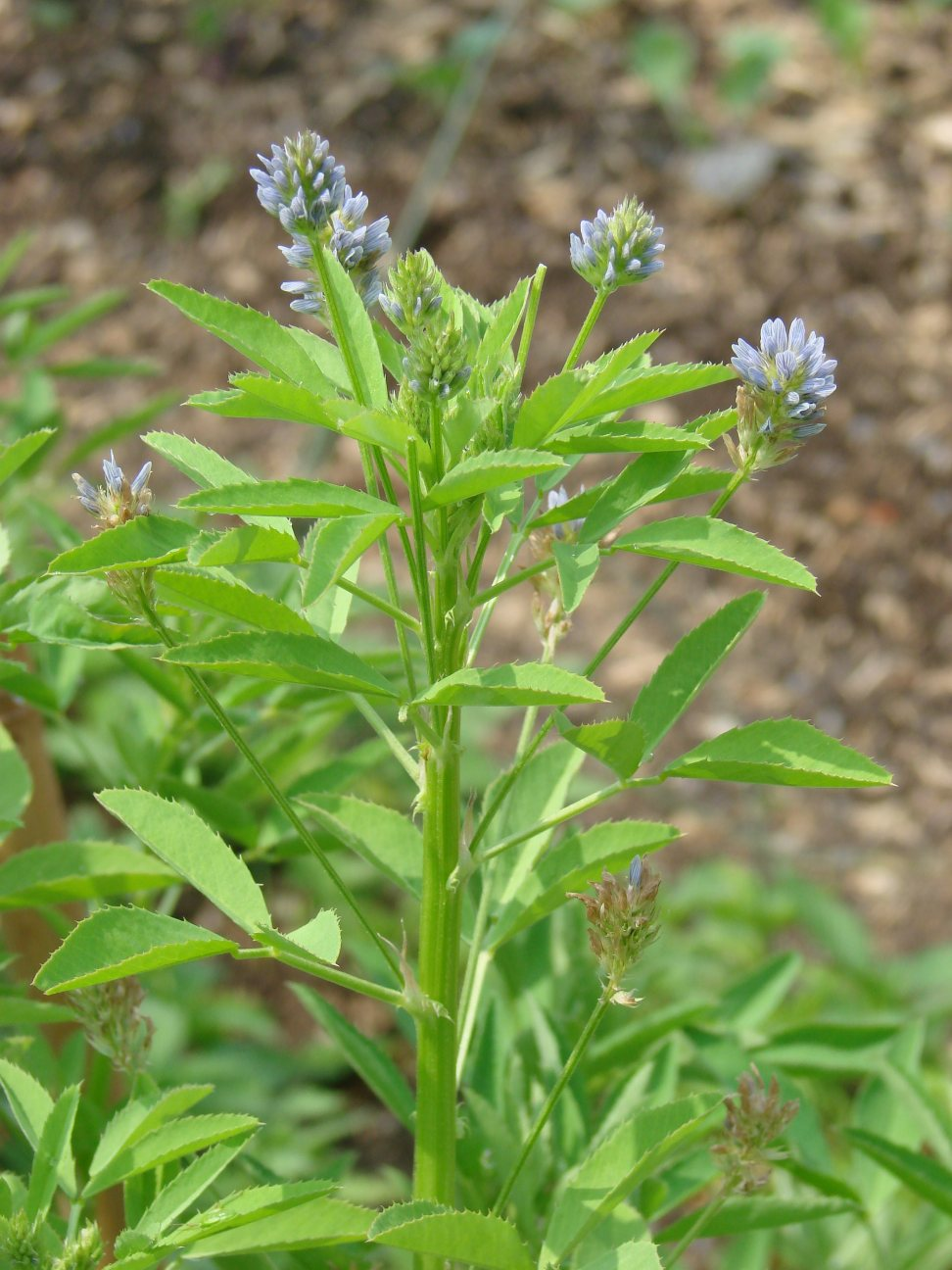 Blue fenugreek. (Photo by Flyout via Wikimedia Commons.)