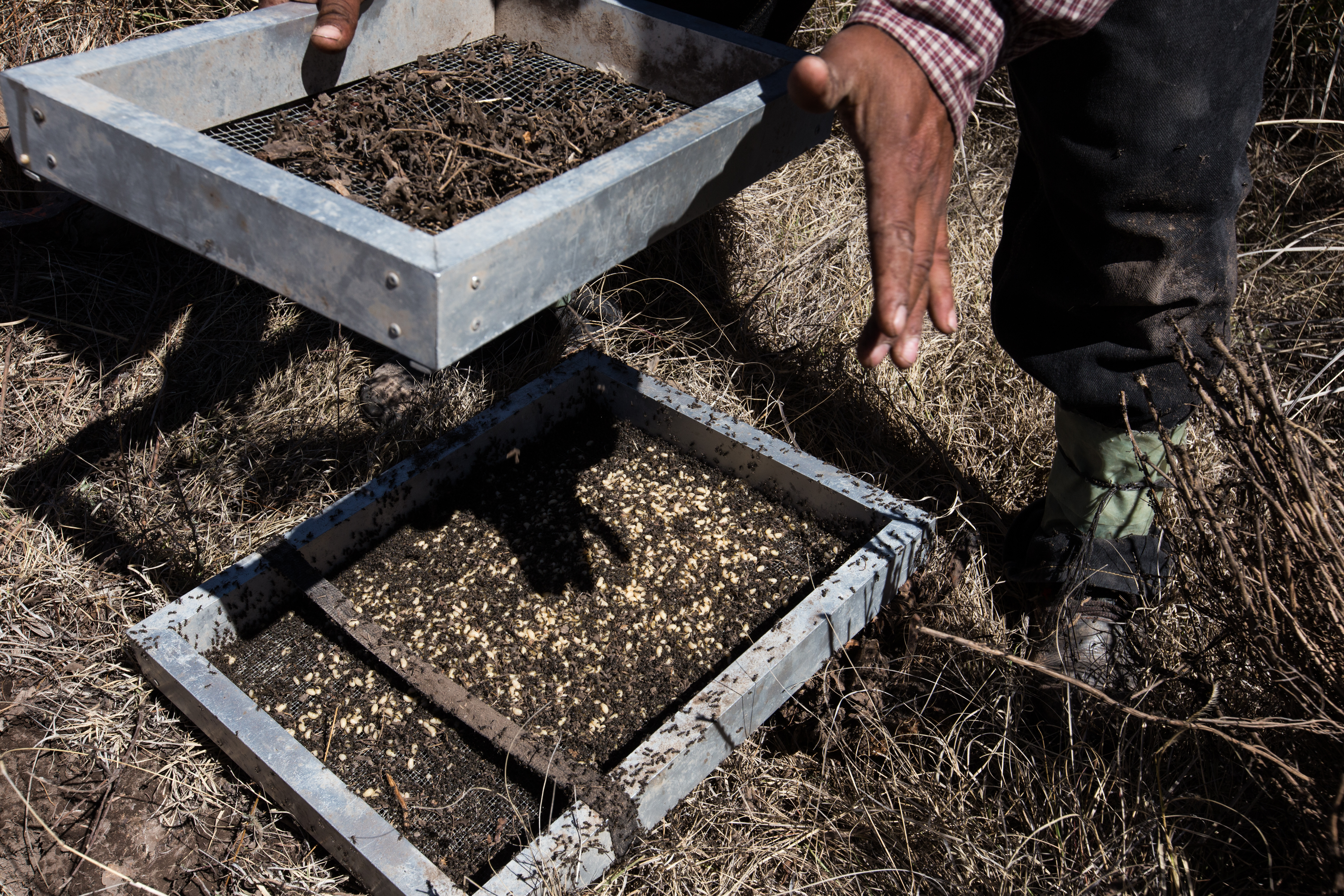 Blas Rodriguez, son of Francisco and occasional partner, strains the ants eggs with a sieve at the desert highlands. Cerro Prieto, San Luis Potosi.
