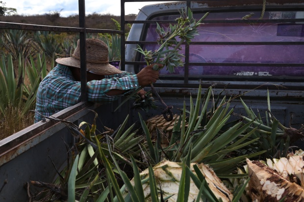 Augustin Guendulain harvests clones sprouted from his agave field in Mihuatlan, Oaxaca, Mexico. He will replant these, some of which are from rare and wild varieties.