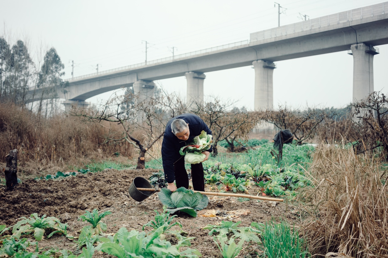 A farmer collects some of his harvest beneath the tracks of a high speed train.