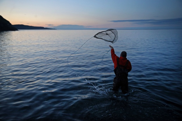 1: Craig Purchase uses a net to gather capelin for research at Middle Cove Beach. 2: The silver fish spawning on the shore is the primary food source for cod.