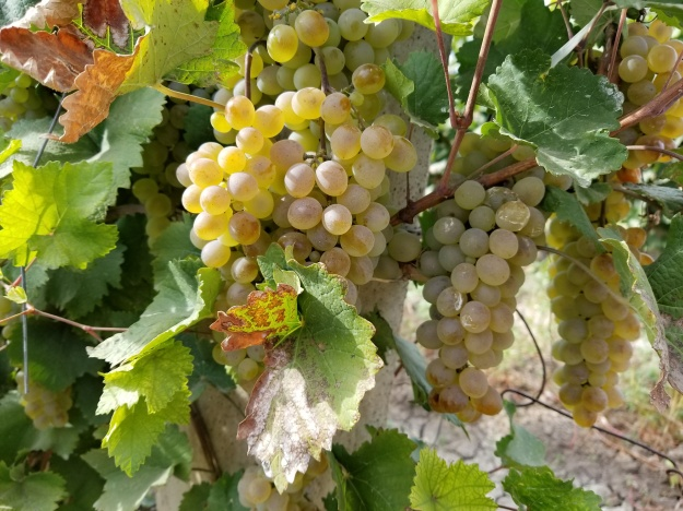 Armenia's sunny climate and rich volcanic soil make it a perfect environment for growing grapes.
